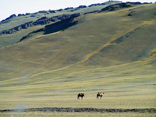 august mongolia yaks camels 2010 khovd olgii steppebysteppe mongoliacharityrally tsaagaanuur