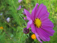 nectar(0.0), annual plant(1.0), flower(1.0), field(1.0), garden cosmos(1.0), plant(1.0), nature(1.0), macro photography(1.0), wildflower(1.0), flora(1.0), meadow(1.0), cosmos(1.0), petal(1.0),