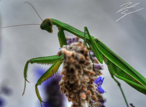 flower macro zach canon bug mantis insect rebel bokeh praying hdr spradlin xti
