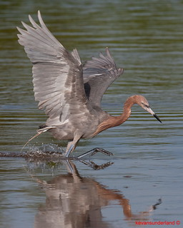Reddish Egret Dancing Across Mud Flat Hunting Dinner Ding Darling National Wildlife Refuge