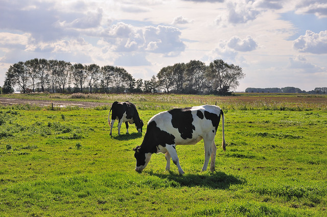 Koeien in Hollands landschap - Cows in Dutch landscape