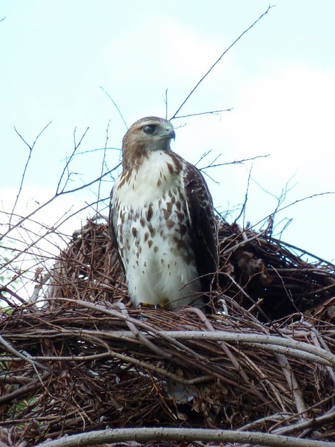 One of BBG's regular visitors, a red-tailed hawk. Photo by Karen Orlando.
