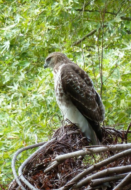 Red-tailed hawk at BBG rests on Natural History. Photo by Karen Orlando.