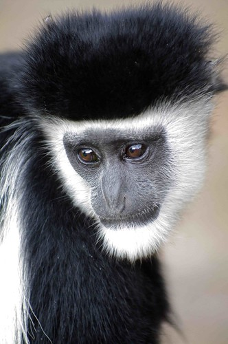 Black and White Colobus Monkey by masaiwarrior