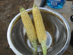 vegetable(0.0), fish(0.0), dish(0.0), sweet corn(1.0), corn on the cob(1.0), produce(1.0), food(1.0), corn on the cob(1.0), cuisine(1.0),