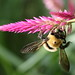 Small photo of Long-horned bee--in the tribe Eucerini.