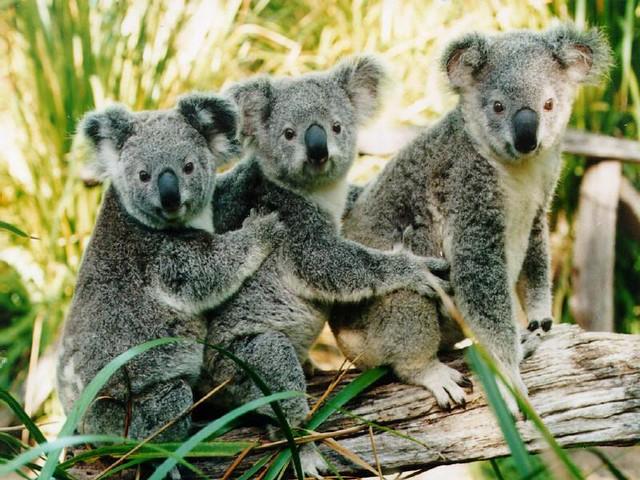 three koalas