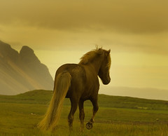 Icelandic stallion by Anna.Andres