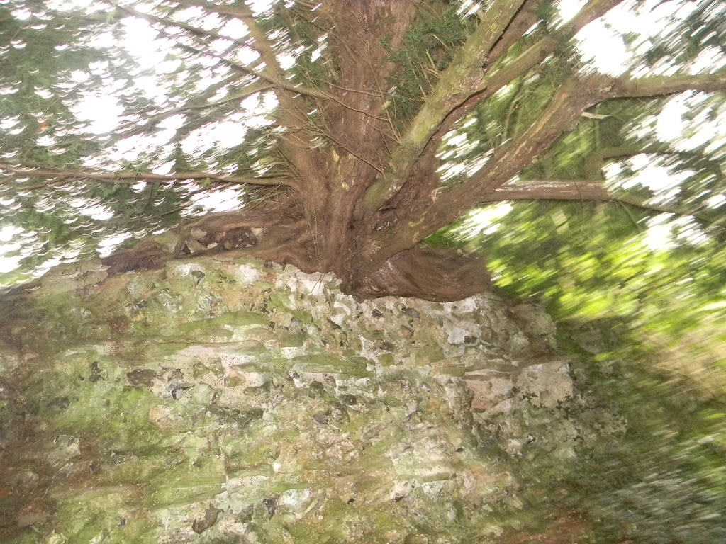 Tree atop the wall Calleva town wall. Mortimer to Aldermaston