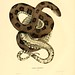 006-Coluber taxispilotus-North American herpetology…1842-Joh Edwards Holbrook