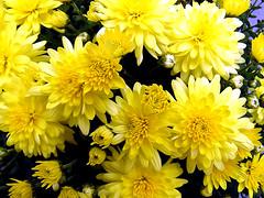 101010h Yellow Chrysanthemums