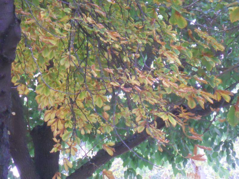 Castaño de indias en otoño 11