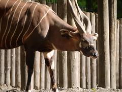 animal, zoo, mammal, horn, fauna, kudu, bongo,