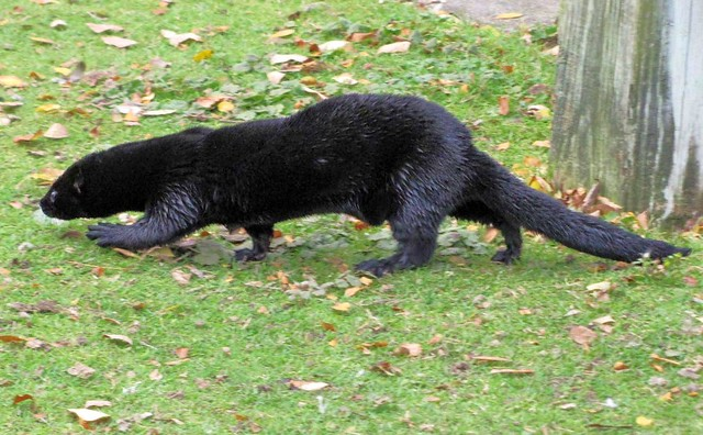 It's A Mink! | Flickr - Photo Sharing!