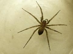 european garden spider(0.0), arthropod(1.0), animal(1.0), spider(1.0), araneus(1.0), invertebrate(1.0), macro photography(1.0), fauna(1.0), close-up(1.0), wolf spider(1.0),