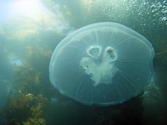 animal(1.0), jellyfish(1.0), coral(1.0), organism(1.0), marine biology(1.0), invertebrate(1.0), stony coral(1.0), marine invertebrates(1.0), underwater(1.0), reef(1.0),