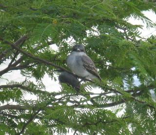 Petigre / Grey Kingbird (Tyrannus dominicensis)