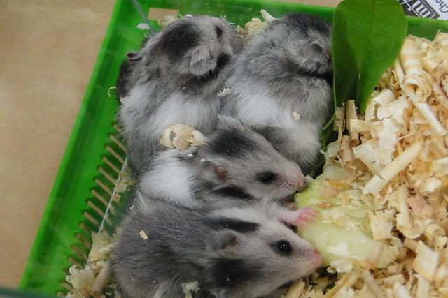 hamster show 5 flickr photo sharing. Black Bedroom Furniture Sets. Home Design Ideas
