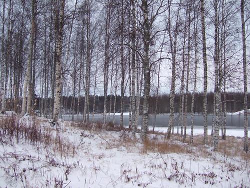 snow ice forest woods snowy birch icy