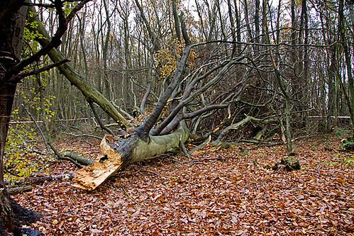 Fallen tree near Woodcutters path by Jack Picknell