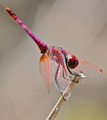 Violet Dropwing (Trithemis annulata) male