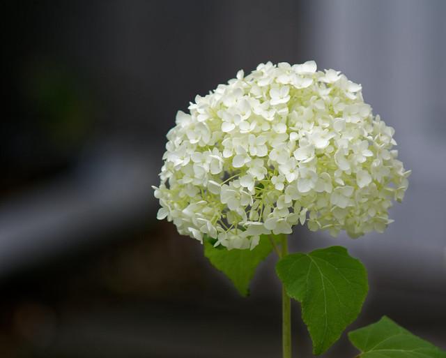 La tête blanche - The white head
