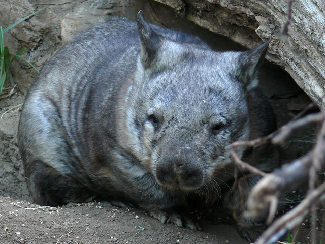 Southern Hairy-Nosed Wombat - Wombania Home