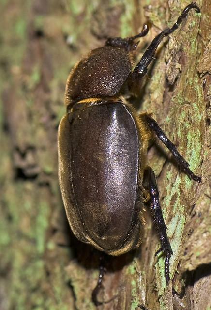 Female Rhinoceros Beetle On Tree No.2
