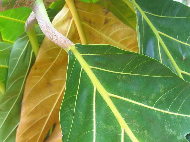 Breadfruit Tree Leaves