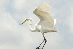 animal, wing, fauna, great egret, heron, pelecaniformes, beak, bird,