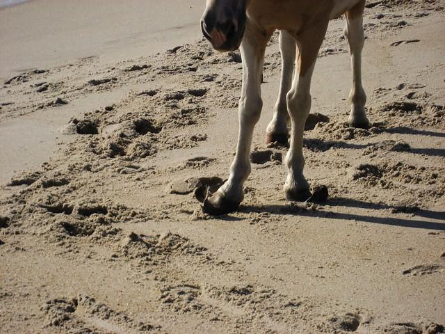 """La vie d'un cheval """"au naturel"""" n'est pas toujours aussi idyllique que l'on sous-entend parfois... Ici les pieds d'un cheval féral de l'île Assateague."""
