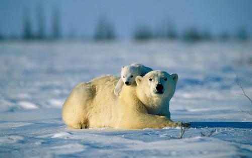 無料写真素材, 動物 , 熊・クマ, ホッキョクグマ・シロクマ, 動物  親子