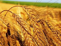 emmer, hordeum, agriculture, einkorn wheat, rye, food grain, field, barley, wheat, plant, food, close-up, crop, cereal, plant stem,