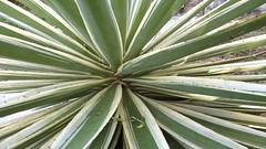 agave, leaf, plant, flora, agave azul,