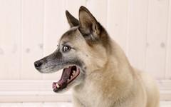 dog breed, animal, west siberian laika, dog, pet, mammal, east siberian laika, greenland dog, wolfdog, close-up, norwegian lundehund,