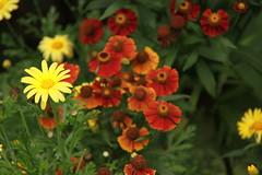 gaillardia, annual plant, flower, marguerite daisy, herb, wildflower, flora, petal,