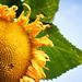 Sunflower by nicholasjon