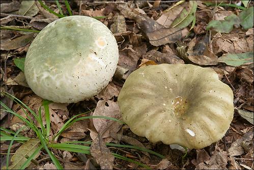 Photo by Amadej Trnkoczy  on Flickr Сыроежка разнопластинчатая (Russula heterophylla) - на фото справа Автор фото: Amadej Trnkoczy (Slovenija)