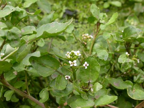 Rorippa nasturtium-aquaticum (Nasturtium officinale)