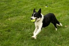 border collie(1.0), dog breed(1.0), animal(1.0), dog(1.0), pet(1.0), karelian bear dog(1.0), russo-european laika(1.0), east siberian laika(1.0), carnivoran(1.0),