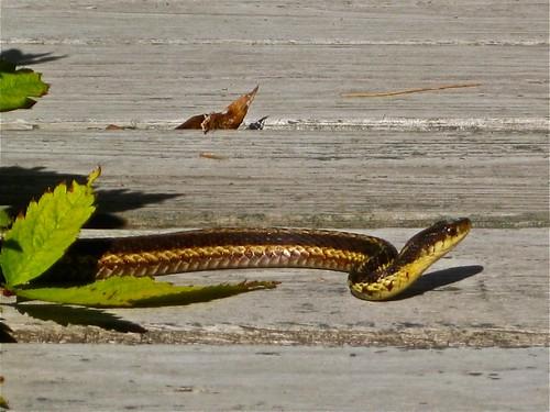 Little Garter Snake