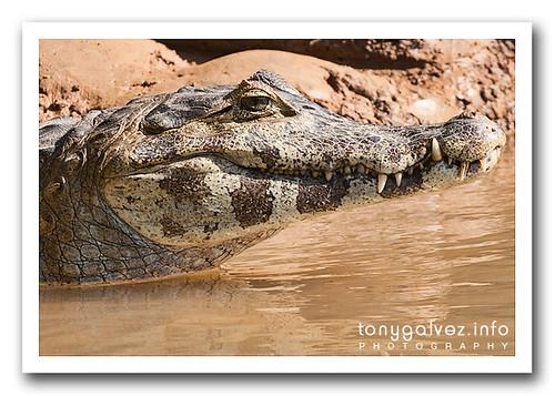yacare caiman, Pantanal, Brazil