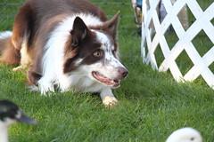 puppy(0.0), cardigan welsh corgi(0.0), border collie(1.0), dog breed(1.0), animal(1.0), dog(1.0), pet(1.0), karelian bear dog(1.0), mammal(1.0),