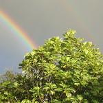 Artocarpus altilis with rainbow