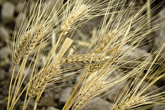 emmer, hordeum, agriculture, triticale, einkorn wheat, rye, food grain, field, barley, wheat, plant, close-up, crop, cereal, plant stem,
