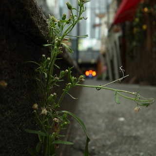 Ginza's weed
