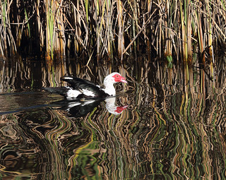 Muscovy Duck Reflecting on its Beauty