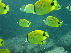 Some sort of butterfly fish, I think
