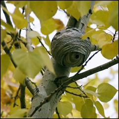 Wasp nest in poplar tree