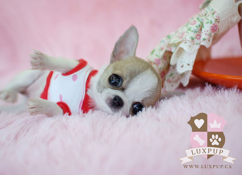 Micro Teacup Chihuahua Puppies - 0425